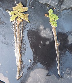 Azolla imbricata (left) and A. japonica.JPG