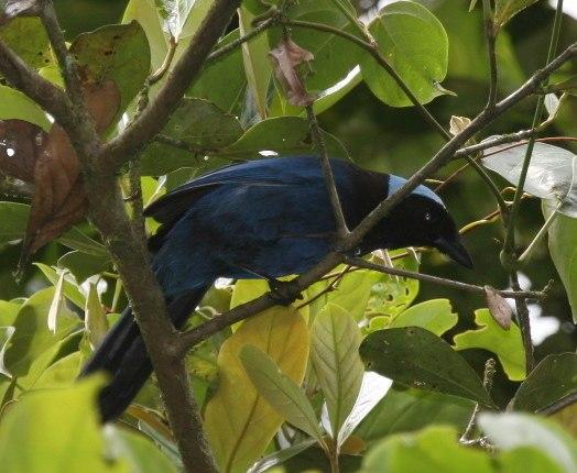 Azure-hooded Jay (Cyanolyca cucullata) in tree, Costa Rica