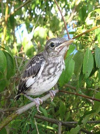 Northern mockingbird - Juvenile in Fairfield, Pennsylvania, USA