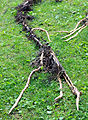 Bamboo Rhizome 01.jpg
