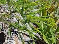 BanksiaPulchella PerthBG-20171224b.jpg