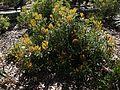 Banksia baueri.jpg