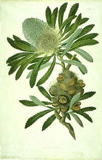 Taxonomy of <i>Banksia</i>