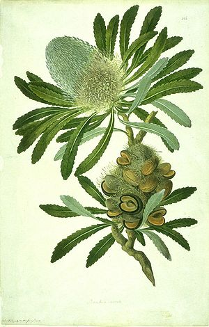 Sydney Parkinson - Image: Banksia serrata watercolour from Bank's Florilegium