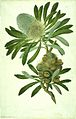 Banksia serrata watercolour from Bank's Florilegium.jpg