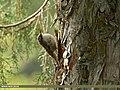 Bar-tailed Tree-creeper (Certhia himalayana) (34932541385).jpg