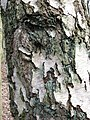 Bark on Old Silver Birch tree - geograph.org.uk - 1185122.jpg