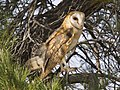 Barn Owl Tyto furcata Carrizo 3.jpg