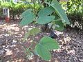 Bauhinia acuminata - ചുവന്ന മന്ദാരം 03.JPG