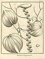 Bauhinia guianensis Aublet 1775 pl 145.jpg