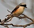 Bay-backed Shrike (Lanius vittatus) in Hyderabad W IMG 7085.jpg