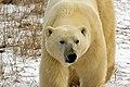 Bear (6356677847).jpg