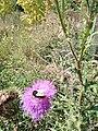 Bee on thistle flower.jpg
