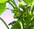 Bee pollinating biodiesel plant (Jatropha curcas) (4337650424).jpg