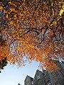 Beech leaves by Magdalene Road, Torquay - geograph.org.uk - 2205515.jpg