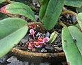 Begonia squamulosa.jpg
