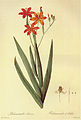 Belamcanda chinensis in Les liliacees.jpg