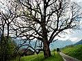 Bemooster Baum - panoramio.jpg