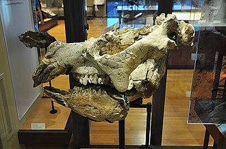 Pyrotherium - P. sorondoi skull in Beneski Museum of Natural History