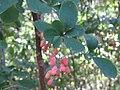Berberis vulgaris (2).jpg