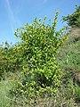 Berberis vulgaris sl1.jpg