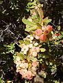 Berberis wilsoniae - Quarryhill Botanical Garden - DSC03663.JPG