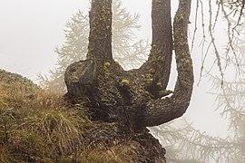 Bergtocht van Vens naar Bettex in Valle d'Aosta (Italië). Bomen langs bergpad in dichte mist 09.jpg
