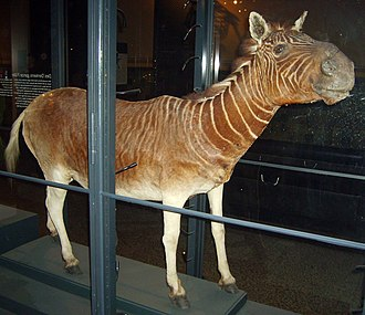 Quagga - Specimen in the Berlin's Natural History Museum, which has been sampled for DNA