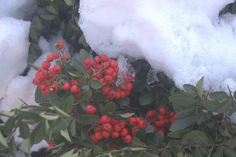 File:Berries in Snow.jpg