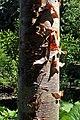 Betula ermanii kz02.jpg