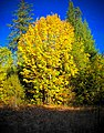 Big Leaf Maple in Autumn, Willamette National Forest-2 (34727486172).jpg