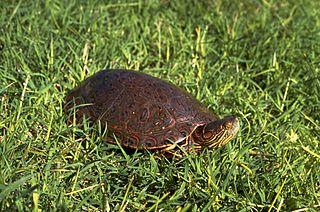 Big Bend slider species of turtle
