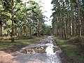 Big puddle on woodland track - geograph.org.uk - 1732666.jpg