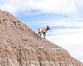 Bighorn Sheep, Badlands National Park 10 11 17 -badlandsnps -southdakota -wildlife (38940659480).jpg