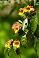 Bignonia capreolata (17789722662).jpg