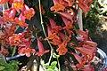 Bignonia capreolata Tangerine Beauty 5zz.jpg