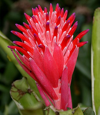 Poales - Billbergia pyramidalis of family Bromeliaceae