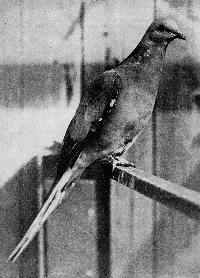 passenger pigeon, male, staring at viewer like he has a story to tell