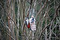 Birdfeeder, dendrocopos major, coal tit.jpg