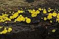Bisporella citrina - Yellow Fairycups - panoramio.jpg