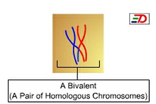 Bivalent (genetics) pair of homologous chromosomes during meiotic synapsis