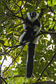 Black-and-White Lemur - Andasibe -Madagascar MG 0613 (15099634048).jpg