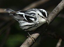 warbler bird columbus wiki wikipedia broken chicago park ba scioly passeriformes