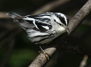 Black-and-white warbler - Columbus Park - Chicago