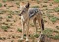 Black-backed jackal, Canis mesomelas, at Pilanesberg National Park, South Afric (16693724443).jpg