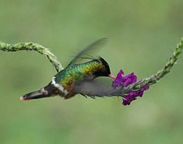 Black-crested Coquette on Stachytarpheta sp