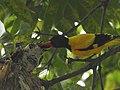 Black-hooded oriole feeding Asian koel in their nest.jpg