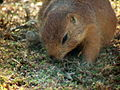 Black-tailed Prairie Dog 06.jpg