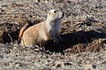 Black-tailed Prairie Dog at Rocky Mountain Arsenal National Wildlife Refuge (23619350235).jpg