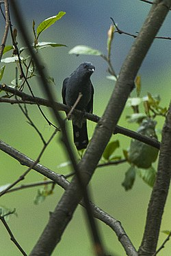 Black-winged Cuckoo-Shrike - Bhutan S4E9360 (16405725054).jpg
